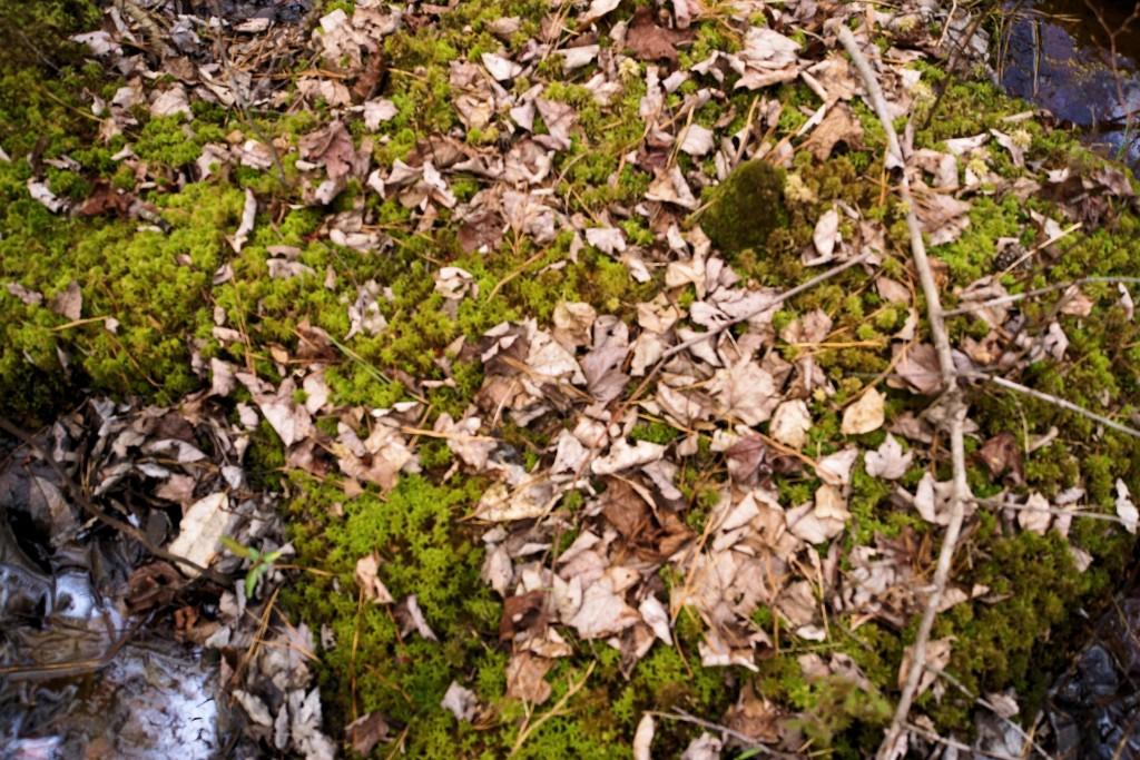 Sphagnum moss on hummock