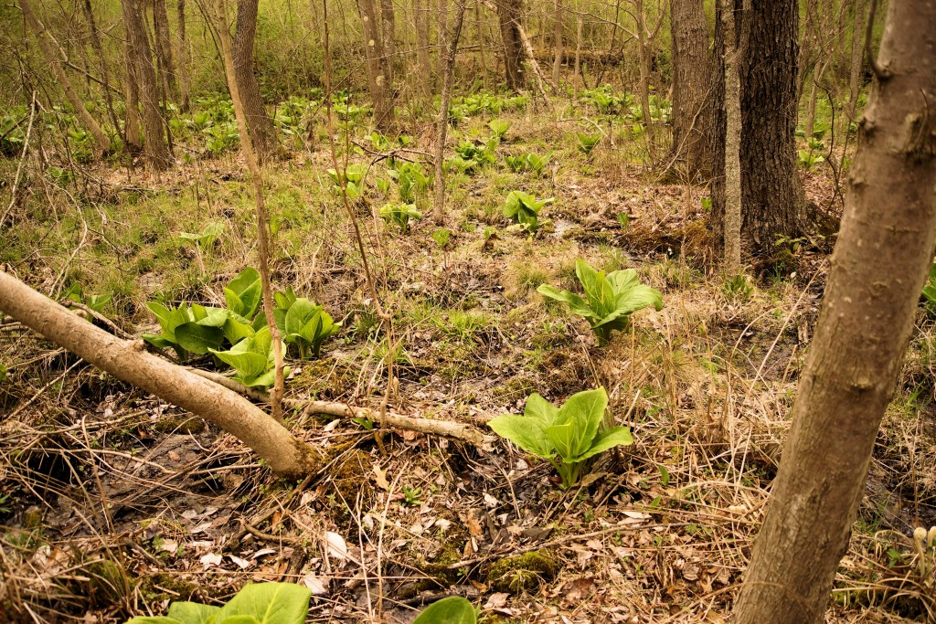 Skunk Cabbage starting to leaf out
