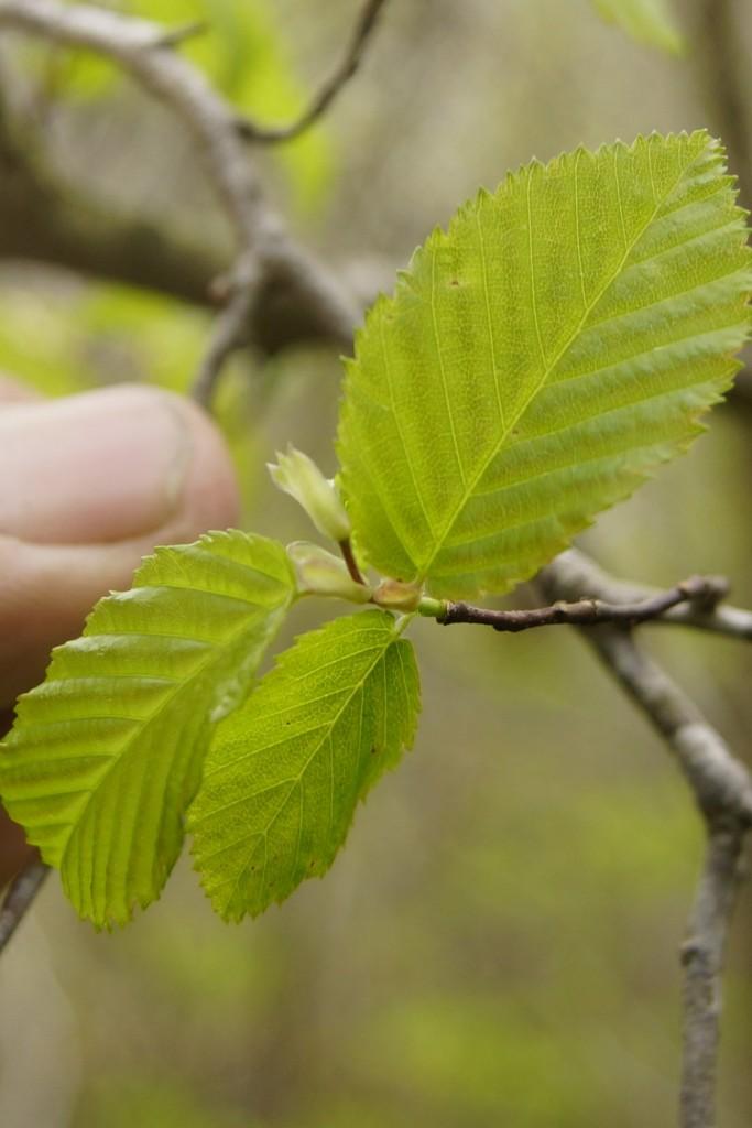 Alnus serrulata (Aiton) Willd. -  hazel alder