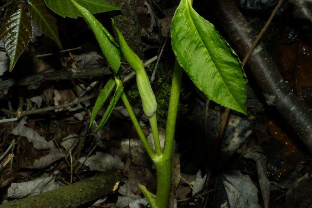 Arisaema triphyllum (L.) Schott subsp. triphyllum - Jack in the pulpit