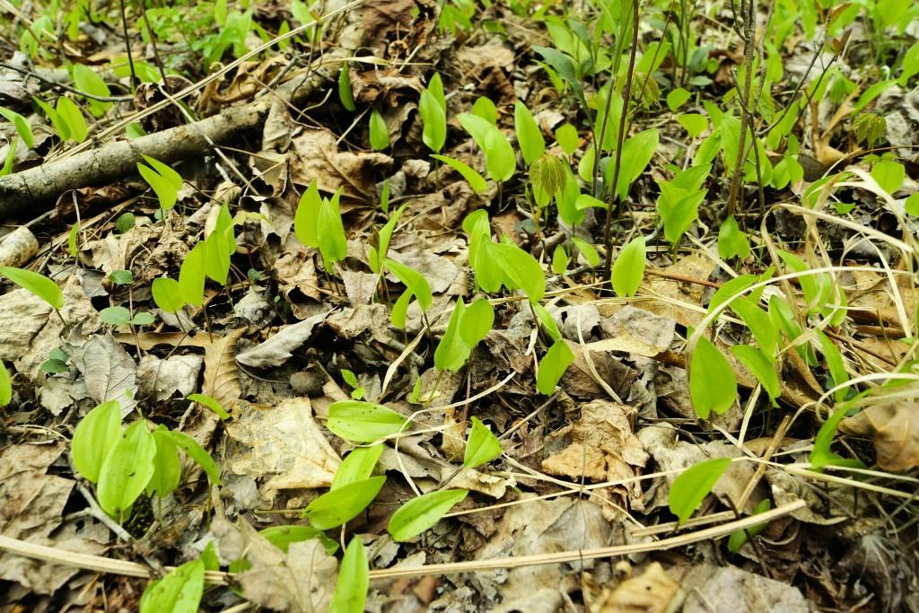 Maianthemum canadense Desf. - Canada mayflower