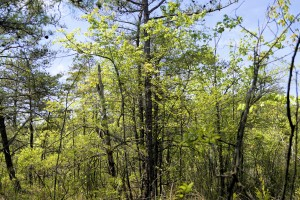 Trees in Pitch Pine Wetland - photo by Bill Harms