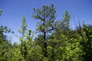 Pitch Pine in the middle surrounded by other trees
