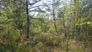 Pitch Pine Wetland - photo by Rod Simmons
