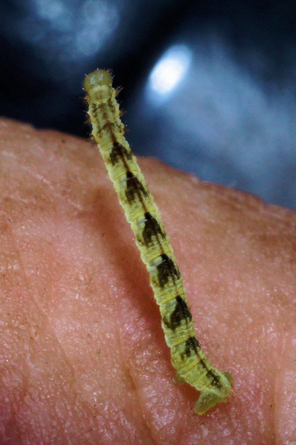 19 june 2015 common pug u2013 a type of inch worm bill u0027s botanical