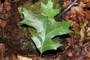 Black Oak - upper side