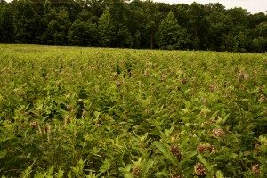 Milkweed meadow on Central Tract
