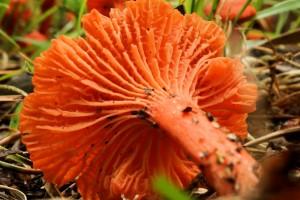 Mushroom 06 - Cantharellus cinnabarinus