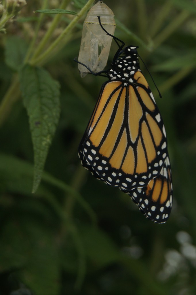 Newly emerged butterfly with its wings almost fully inflated