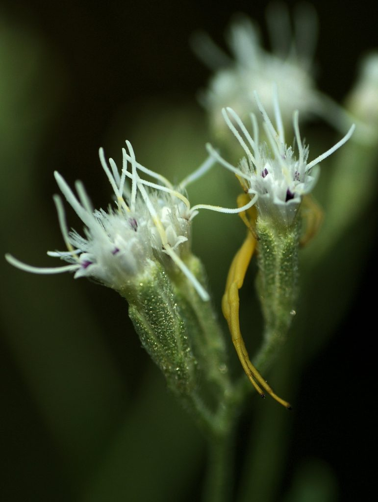 Close-up of Eupatorium torreyanum flowering heads