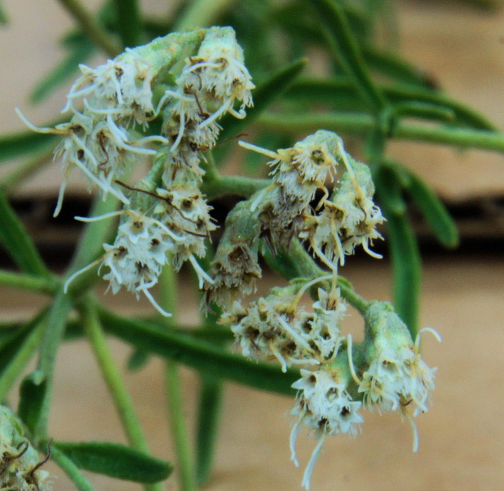 Close-up of Eupatorium hyssopifolium flowering heads