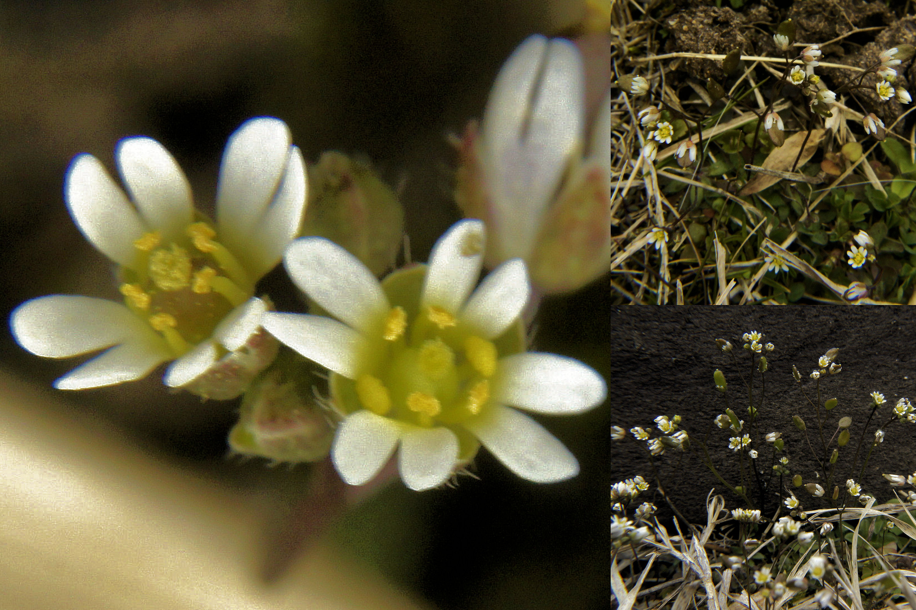 bill s botanical forays focusing on the patuxent research refuge has several different common s the one i usually hear it called is whitlow grass the erophila verna is sometimes seen as a synonym